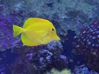 Yellow Tang - Foto: Yan Grossman